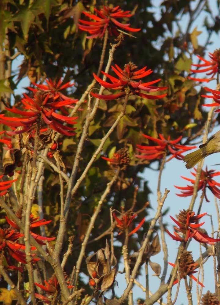 O nome Candelabro vem do formato das flores da árvore