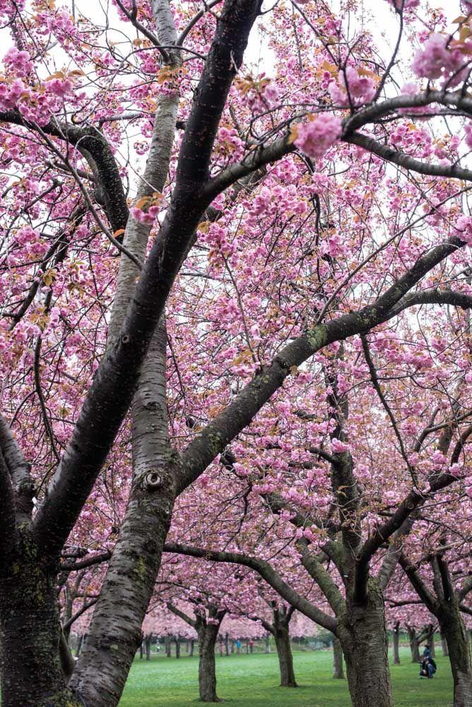 No Japão existe até um dia só para contemplar essa árvore; sabe qual é ela? A Cerejeira