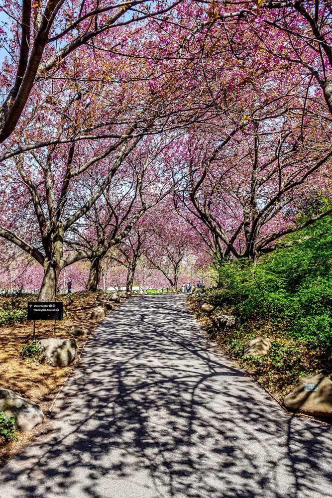 A cerejeira possui flores cor de rosa e é muito ornamental; é comum que essa espécie chegue a pelo menos seis metros de altura