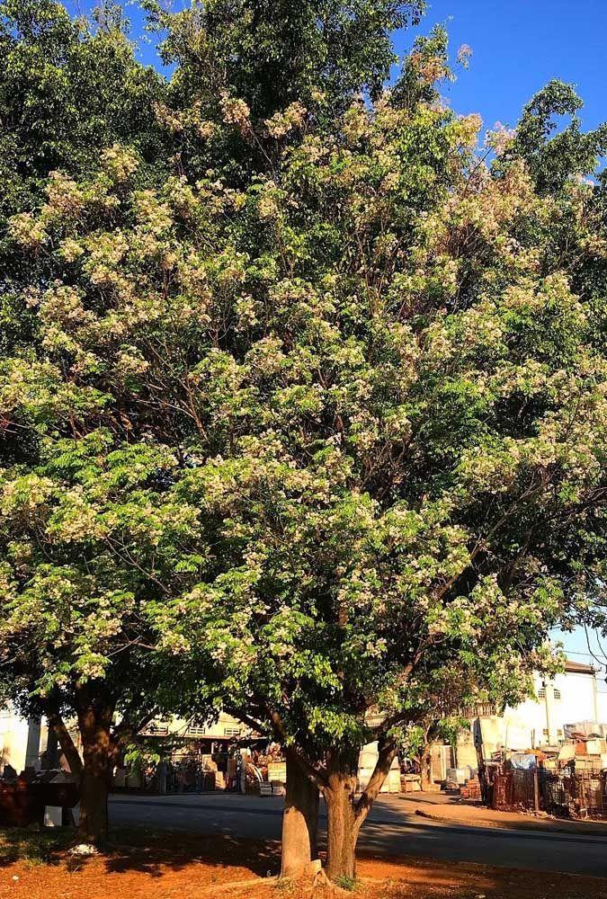 A Cinamomo é outra espécie que pode ser cultivada em jardins, mas atenção porque ela cresce rápido e pode atingir até 20 metros de altura