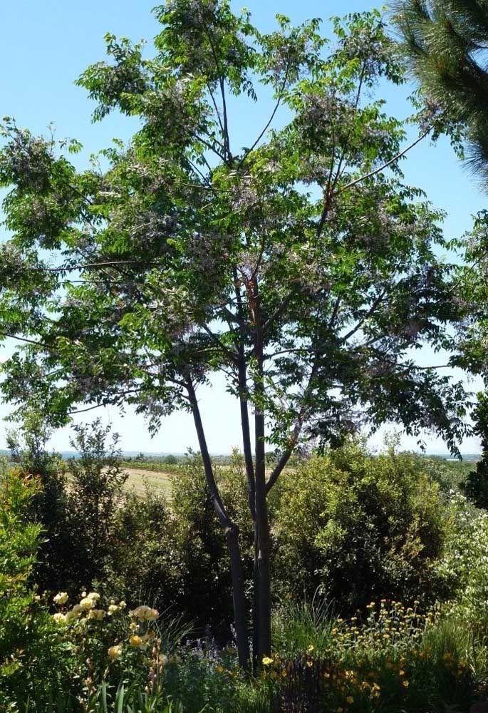 A Cinamomo é cultivada de modo ornamental em diversos países do mundo