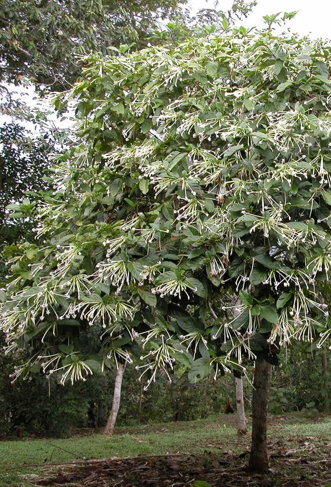 Se você procura por uma espécie de árvore que seja, além de bonita, muito aromática, então você vai se encantar pela Dama da Noite