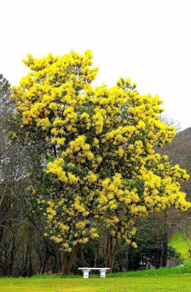A Acácia é uma árvore de médio porte e pode ser plantada debaixo de fiações, já que seu crescimento não atinge mais do que os sete metros de altura