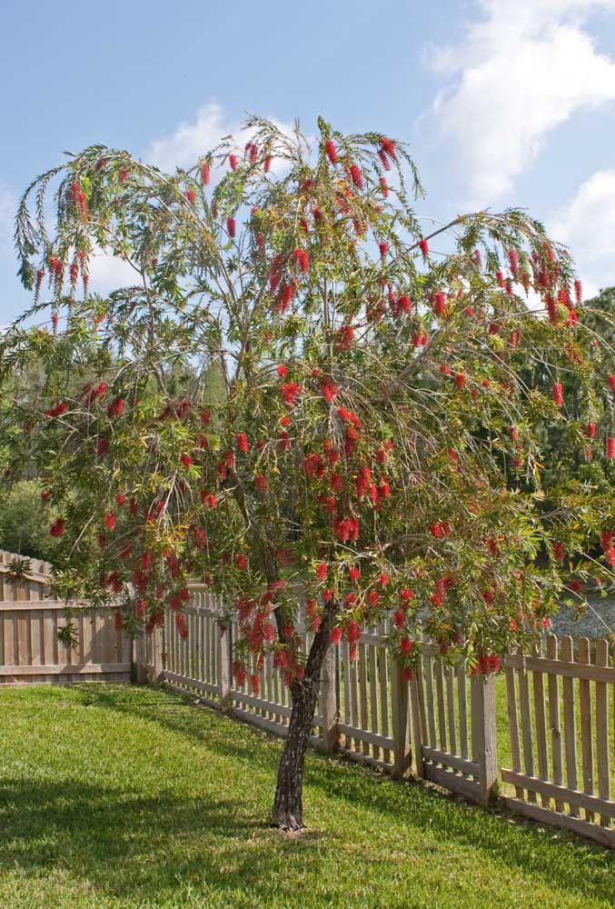 O formato exótico e exuberante da Escova de Garrafa a coloca como uma das melhores opções para árvores de calçada ou jardim