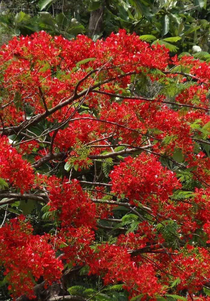 Já o que se destaca nessa outra espécie, a Flamboyant, é a mudança gradual da cor das suas folhas que vão do verde ao vermelho