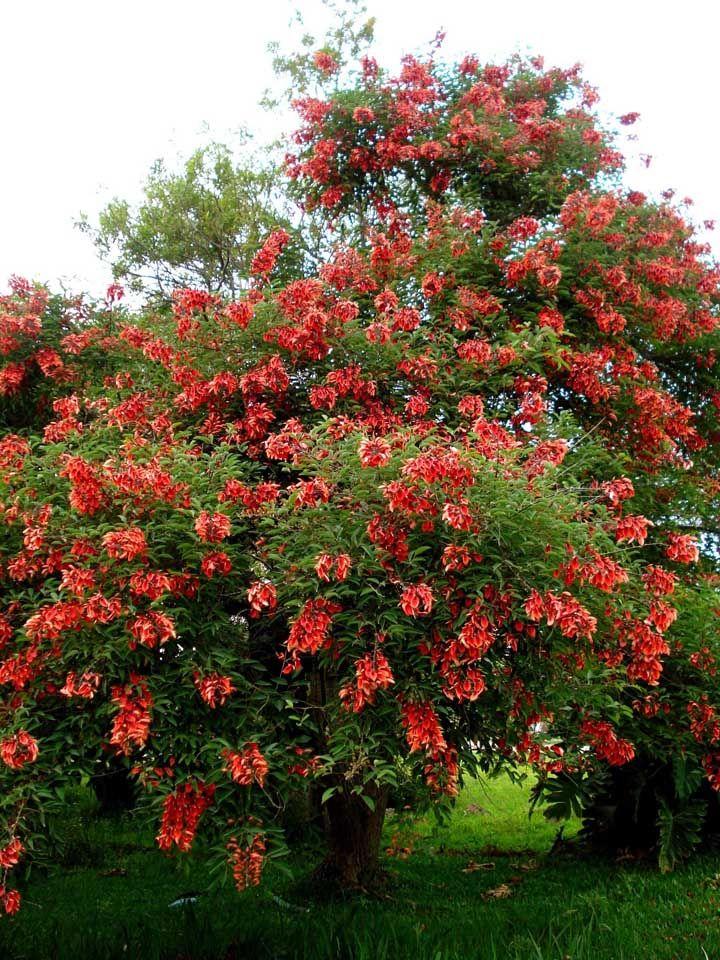 Se você quer uma árvore que traga boa sombra e seja resistente ao calor, então aposte na Flamboyant