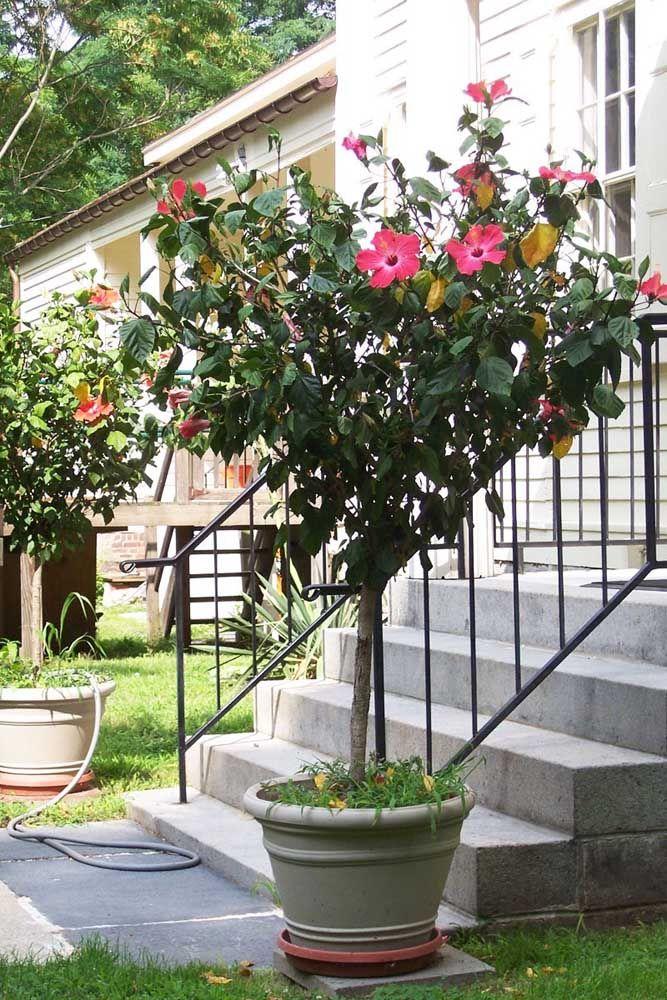 As flores da Hibisco variam muito de tonalidade indo do branco até o vermelho, com variações de amarelo e laranja