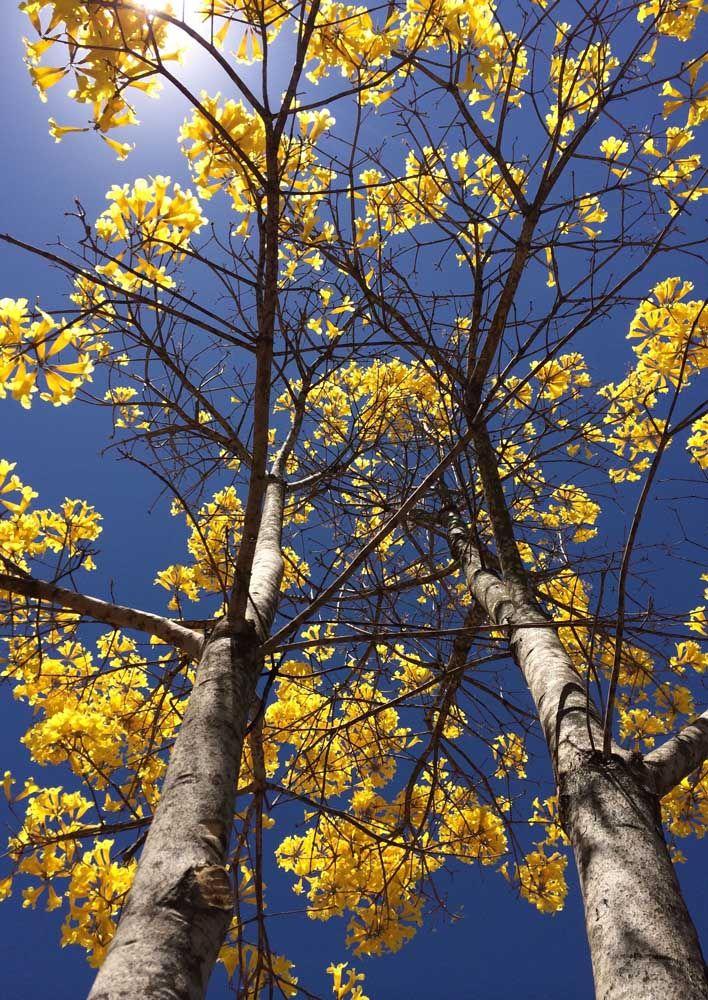 Essa que você está vendo abaixo é a Ipê, uma árvore muito usada no paisagismo urbano e que pode alcançar até sete metros de altura