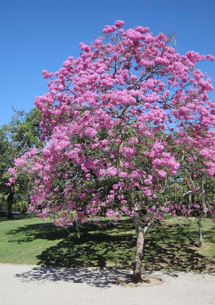 Entre janeiro e maio, as flores do Ipê dão um verdadeiro show de beleza colorindo o céu com suas cores vivas e alegres