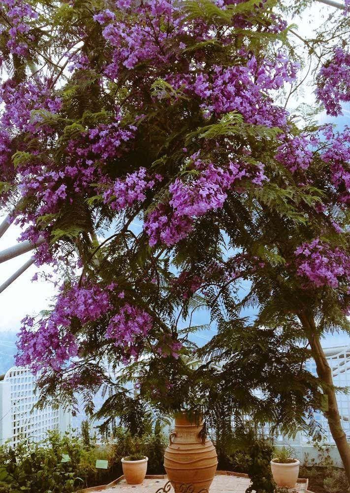 Jacarandá se desenvolve melhor em regiões de clima temperado