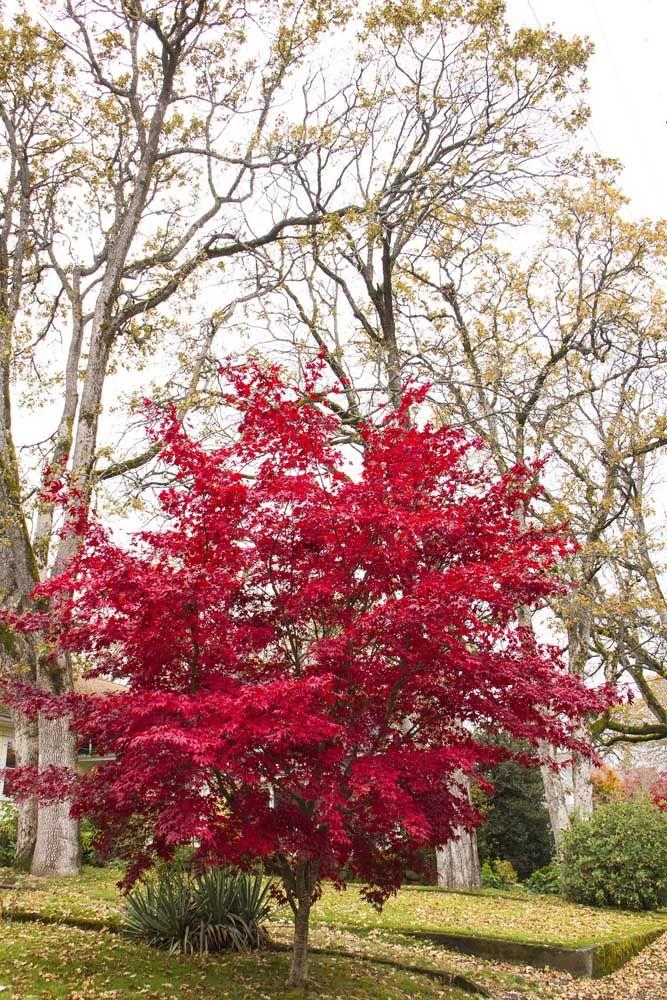 A árvore bordo é uma excelente opção para quem busca por uma espécie de alto valor ornamental