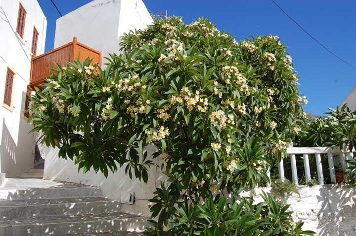 Perfumada e muito ornamental, a Jasmim Manga é outra espécie de árvore para calçada que vai te deixar apaixonado