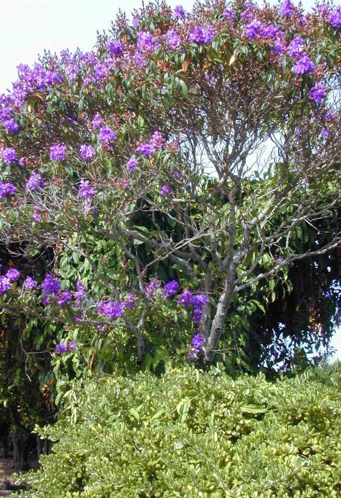 A Manacá da Serra é outra espécie bem popular e que faz sucesso no cenário urbano