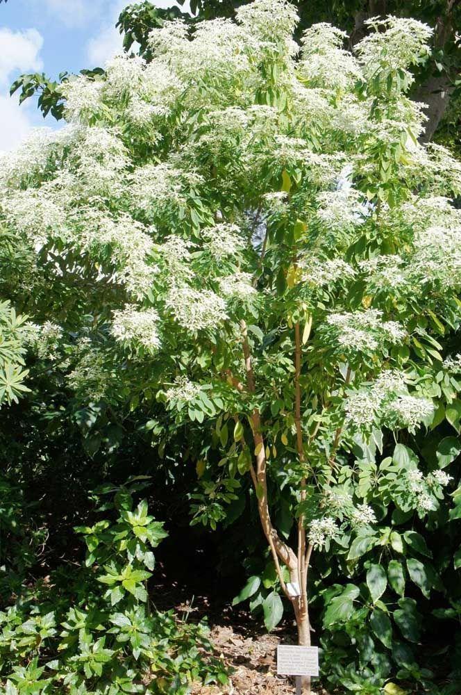 Pense agora em uma árvore de flores delicadas; essa árvore é a Noivinha