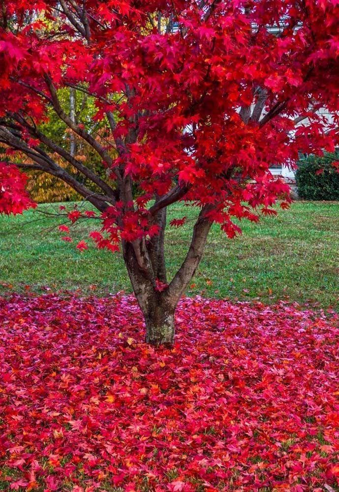 Parente da Maple Tree, árvore símbolo do Canadá, a árvore bordo é indicada para plantio em regiões frias, encantando a todos com suas folhas avermelhadas