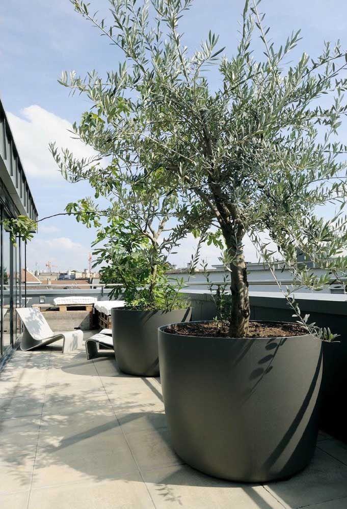 E que tal cultivar uma oliveira no jardim de casa? Pensou ter azeitonas fresquinhas no quintal?