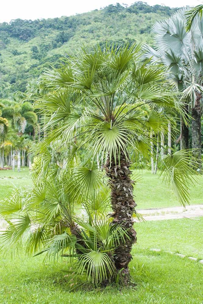 Essa aqui você conhece: é a Palmeira Moinho de Vento; inclusive grande parte das espécies de Palmeira são indicadas para cultivo em calçadas
