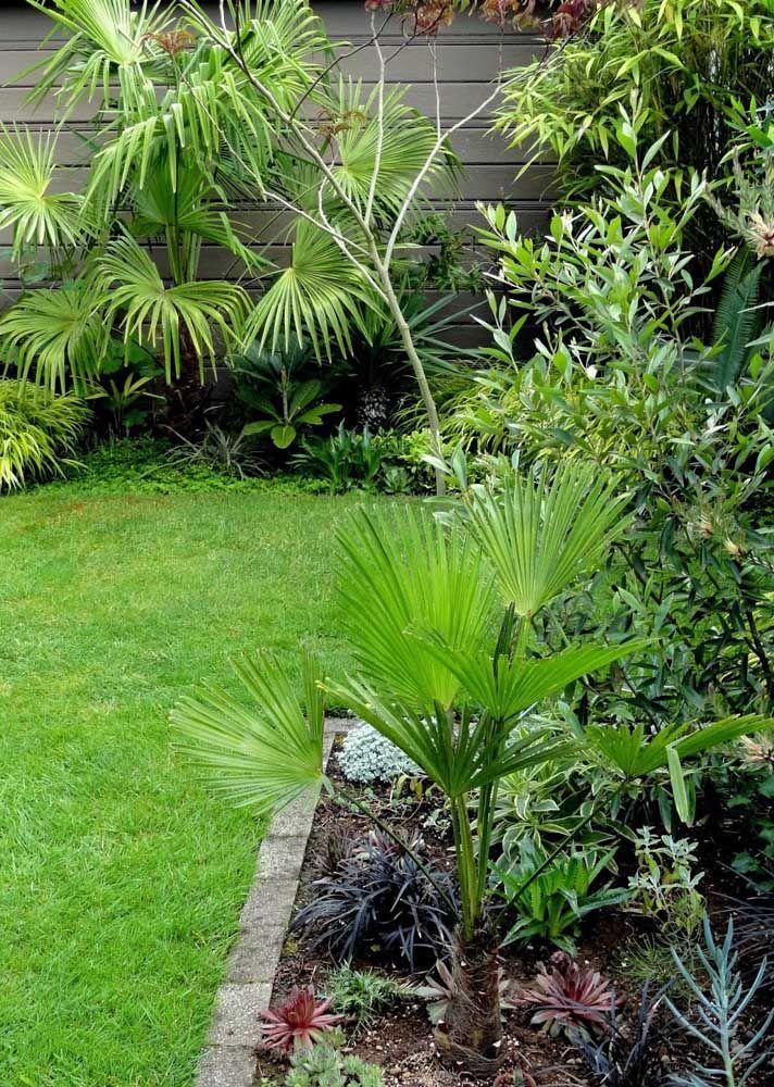 Muito ornamental, a Palmeira Moinho de Vento pode atingir os dez metros de altura