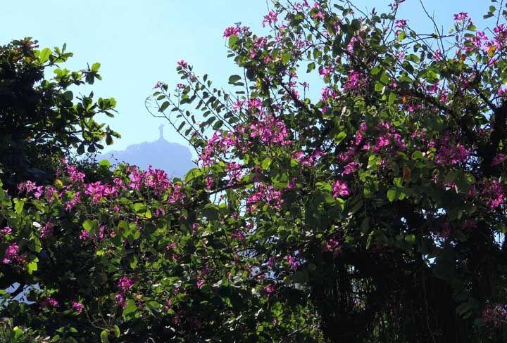 Não precisa caminhar muito por aí para encontrar uma dessas: a Pata de Vaca; muito ornamental, essa árvore com flores brancas e rosas possui folhas em um formato inusitado, que realmente lembram patas de vaca