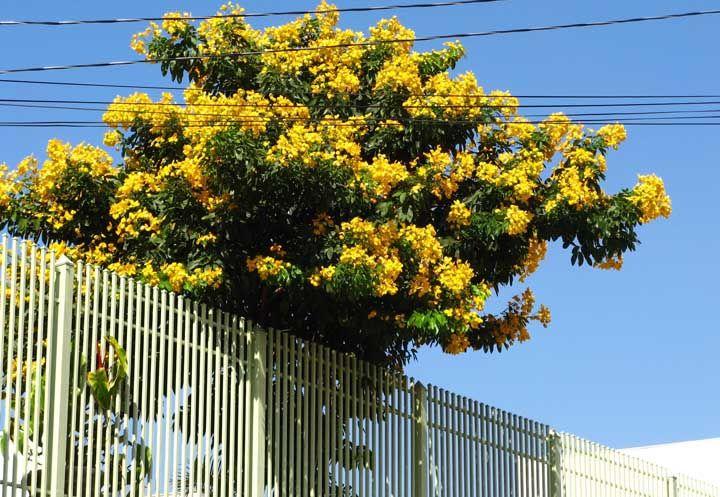 Use a Pau Fava sem medo na calçada, já que a árvore não passa dos oito metros de altura