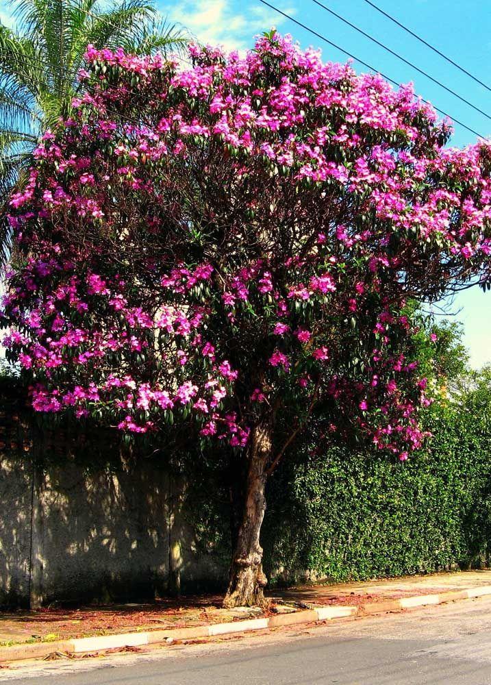 Muito popular no Brasil, a Quaresmeira recebeu esse nome justamente por florescer no período da quaresma, entre os meses de fevereiro e abril