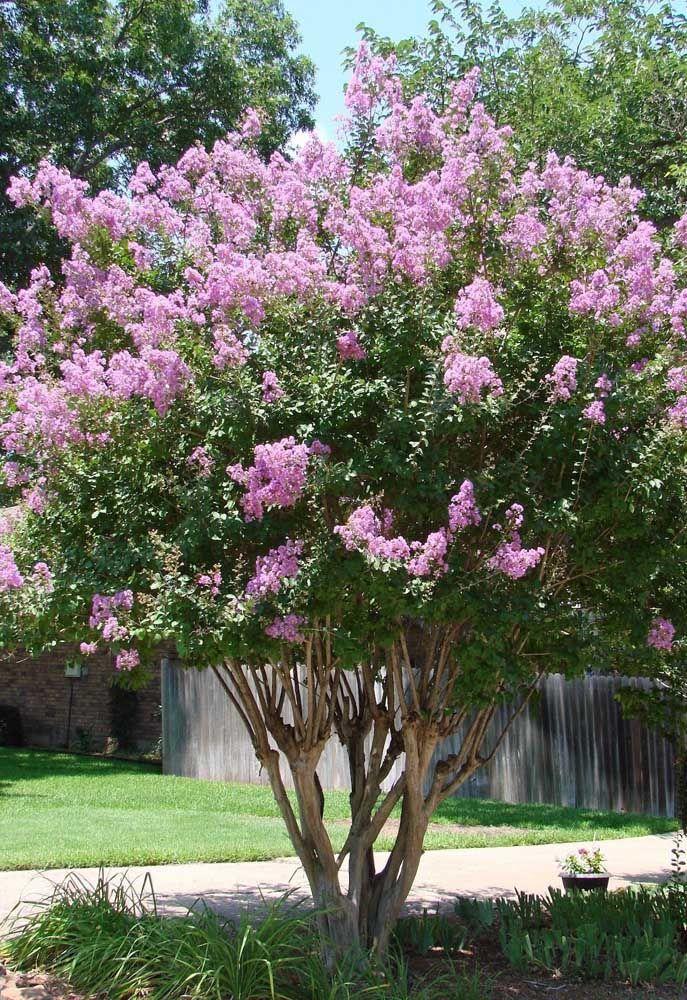 A Extremosa ou Resedá é outra espécie popular no paisagismo urbano, podendo alcançar até oito metros de altura