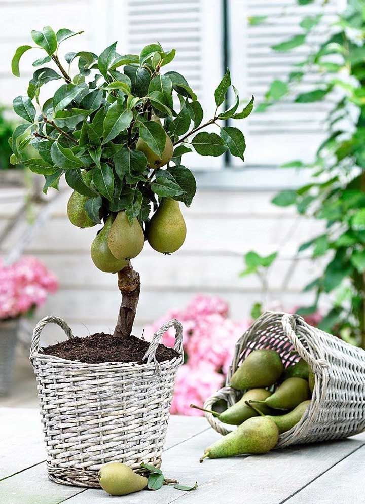 De pera