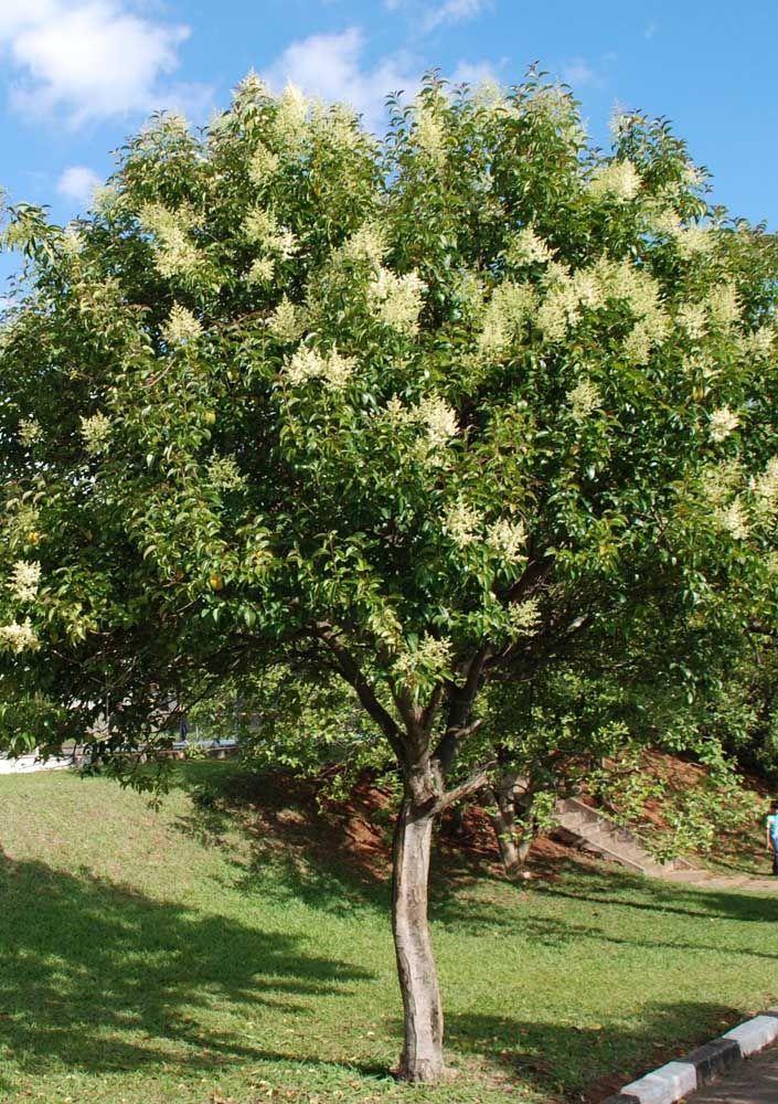 Muito comum no sul do país, o Alfeneiro se caracteriza pela floração branca