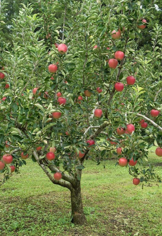 Além de bonitas, essas árvores ainda fornecem frutas à vontade no quintal de casa