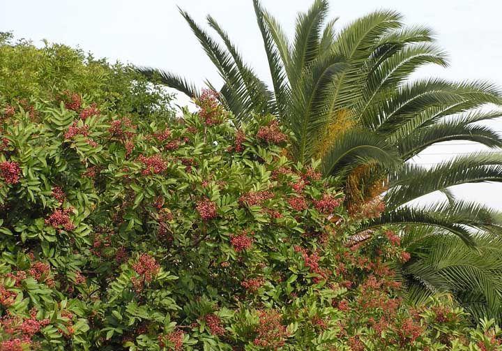 A aroeira, típica de regiões mais frias, é muito utilizada como planta medicinal