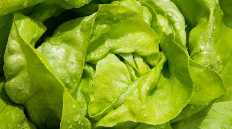 Como plantar alface: descubra 5 maneiras e dicas práticas