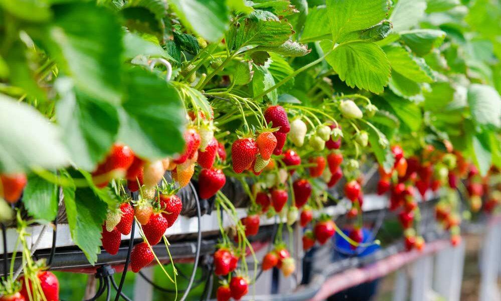Como plantar morango vasos