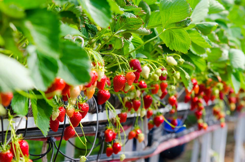 Como plantar morango: dicas essenciais, cuidados e onde plantar