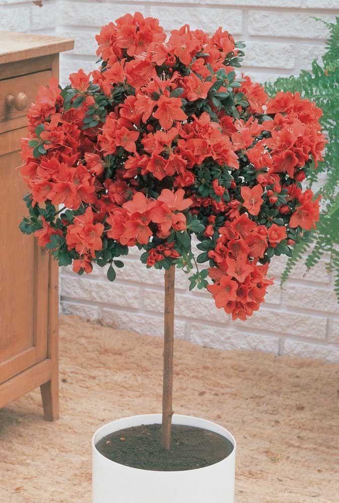 """Entendeu agora o porquê dos orientais chamarem a azaleia de """"árvore de flores""""?"""