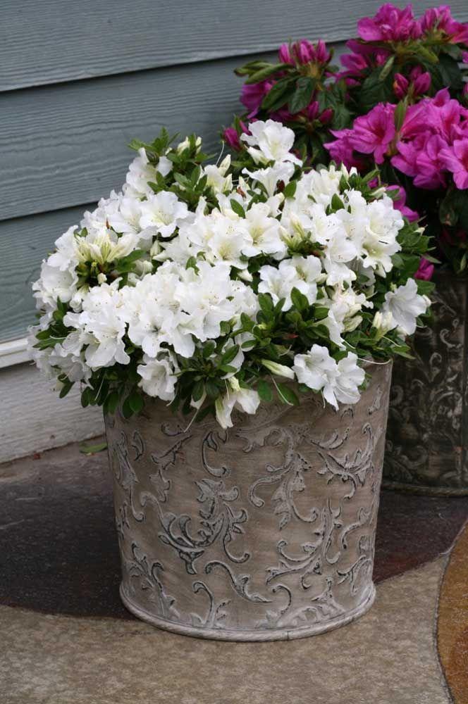 As azaleias podem ser cultivadas dentro ou fora de casa, desde que tenha as condições de luz adequadas para elas