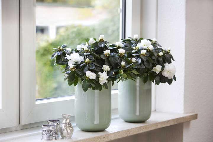 Dupla simpática de mini azaleias colhendo luz na janela