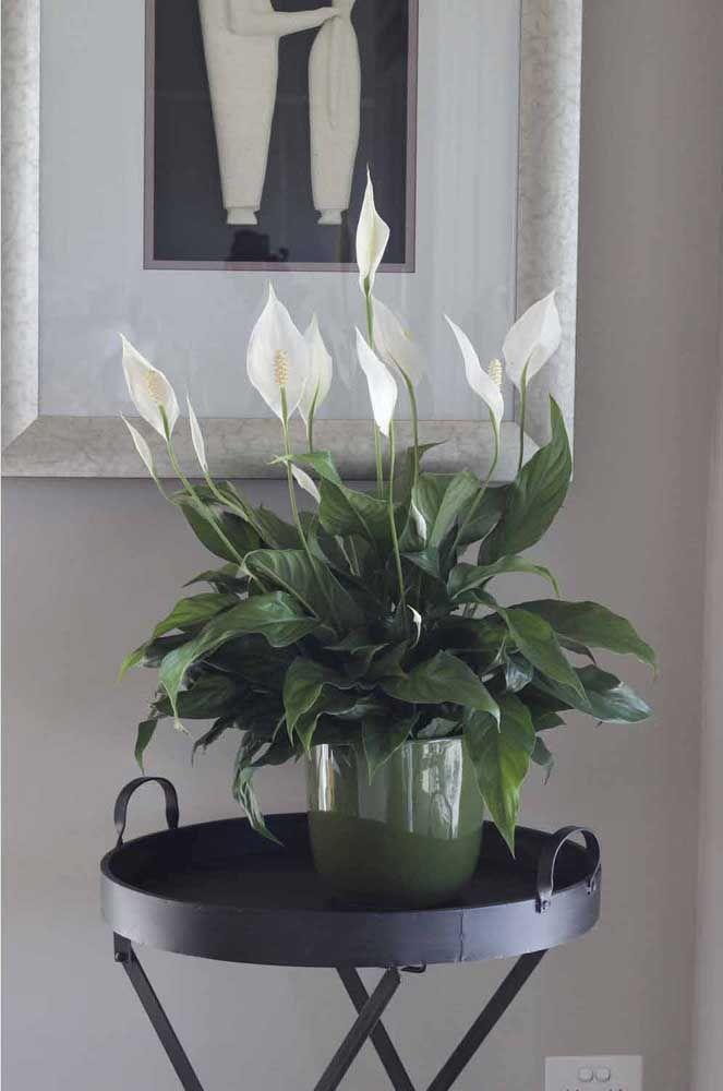 Garanta luz e água na medida certa para os lirios da paz; eles irão retribuir com belas flores brancas