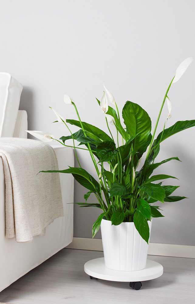 Além de decorar, o lírio da paz ainda ajuda a purificar o ar dos ambientes