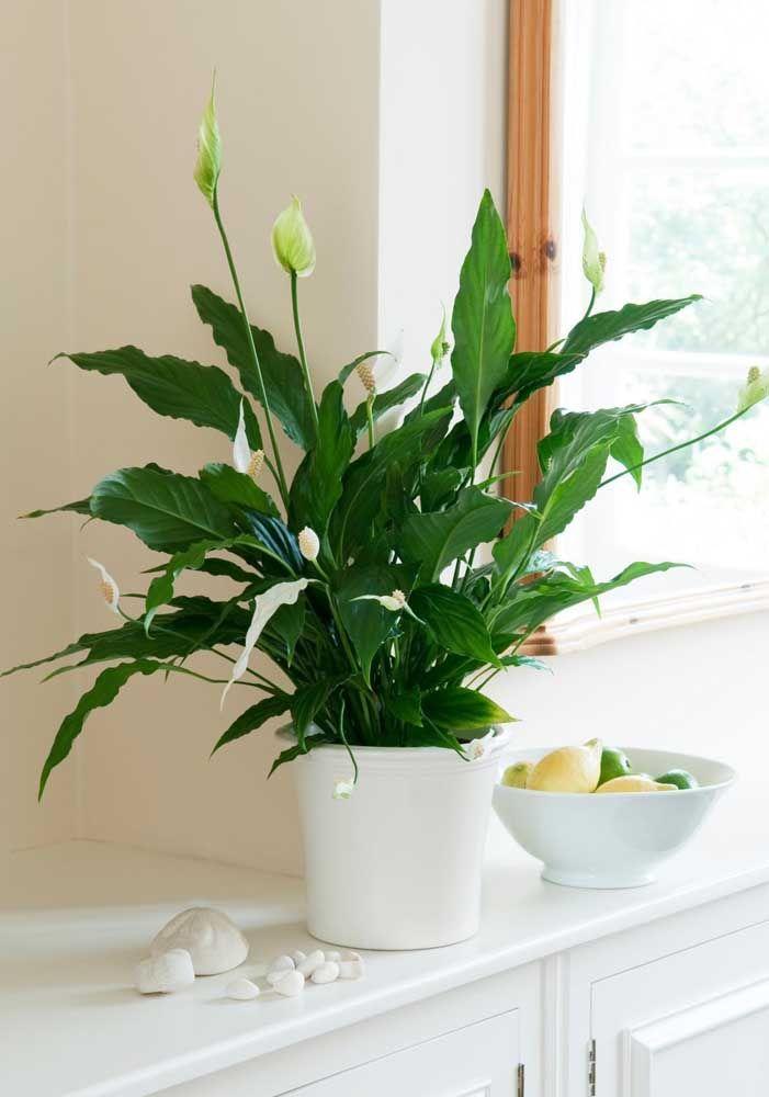 A janela garante toda a luminosidade que o vaso de lírio da paz precisa para se desenvolver