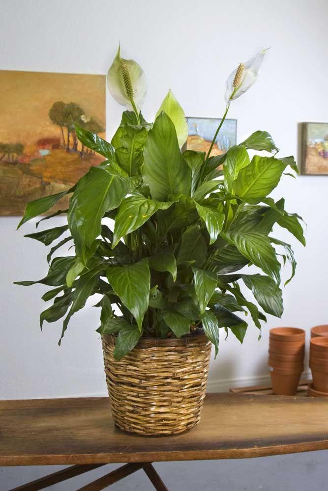 E se preferir uma decoração mais rustica com o lírio da paz use vasos de vime ou palha