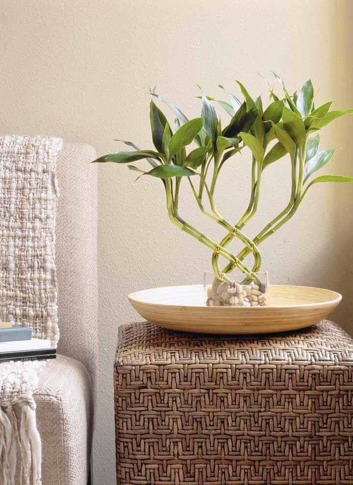 A versatilidade do bambu da sorte é outra característica positiva da planta: ela combina com qualquer estilo de decoração