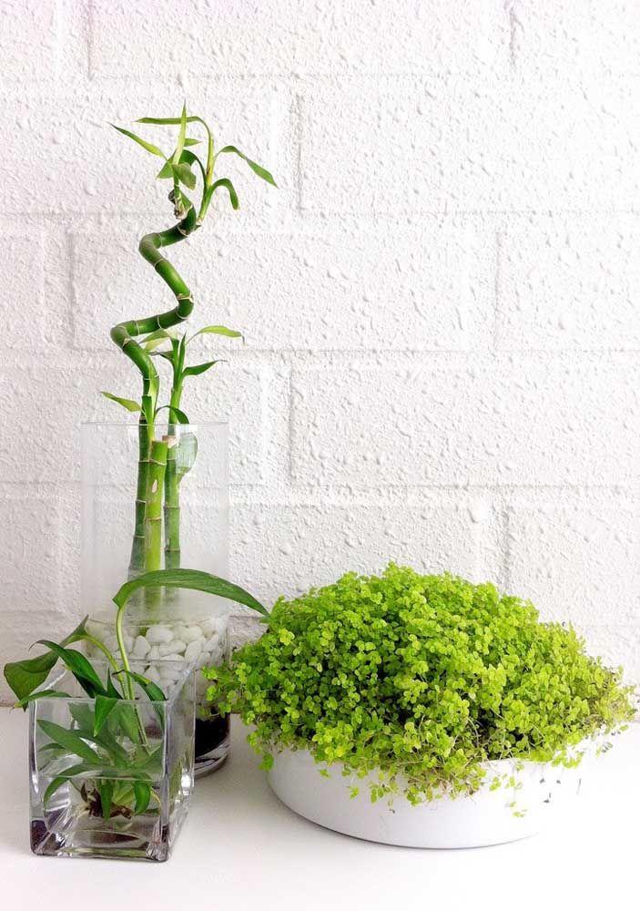 Cultivado na água, esse bambu da sorte ganhou formato espiralado