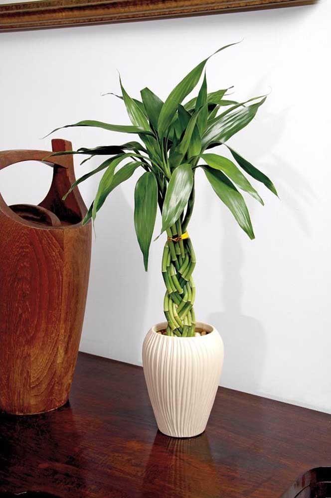 De tempos em tempos faça uma pequena poda no bambu da sorte para garantir o alinhamento e o formato da planta