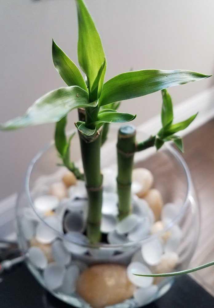 Luz indireta e água em abundância: ingredientes indispensáveis no cultivo do bambu da sorte