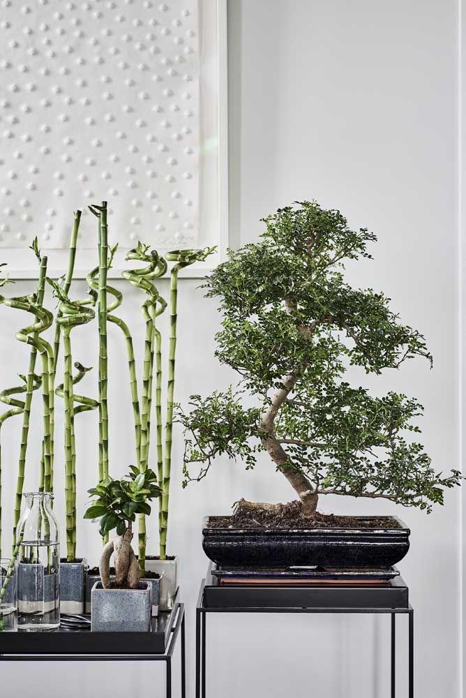 Bambu da sorte e bonsai: ícones do paisagismo oriental direto para a decoração de interiores