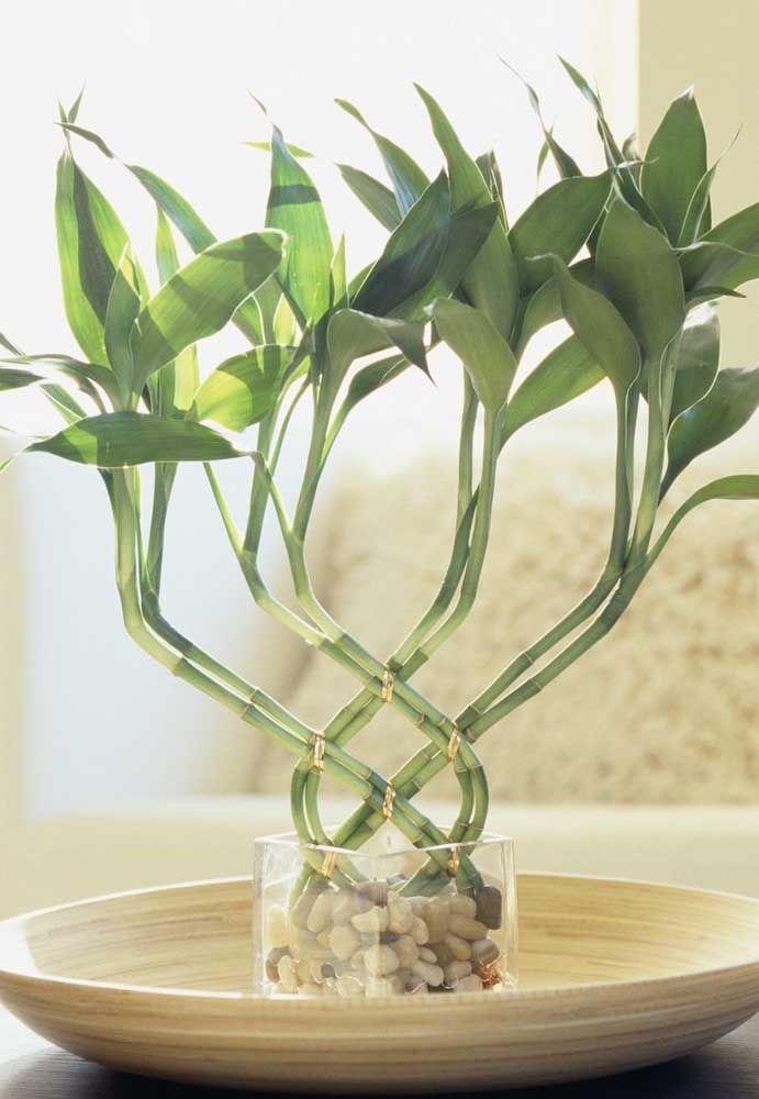 Bambu da sorte trançado pode ganhar formas e modelos variados, já que a planta é muito maleável