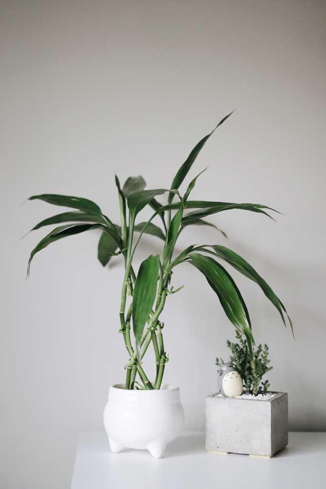 Vasos brancos garantem um toque moderno e minimalista aos bambus da sorte