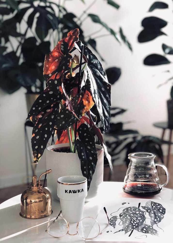 Begônia Maculata no papel e no vaso