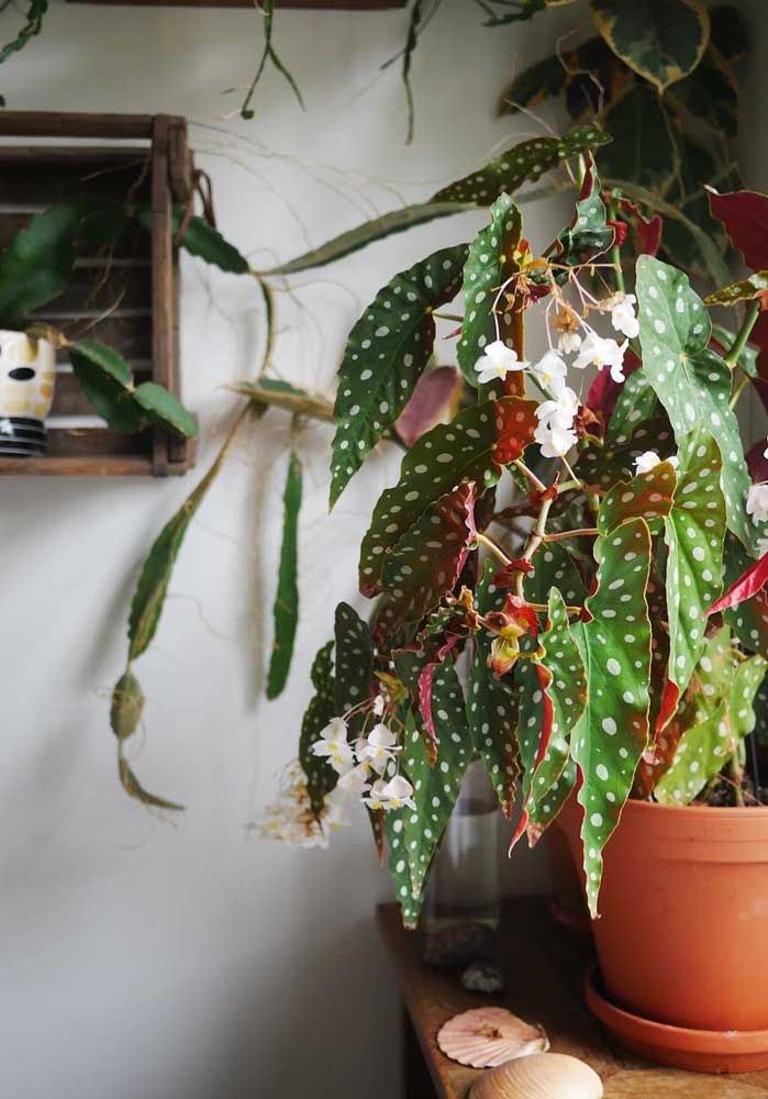 Begônia Maculata em floração: o que já era lindo, fica ainda mais especial