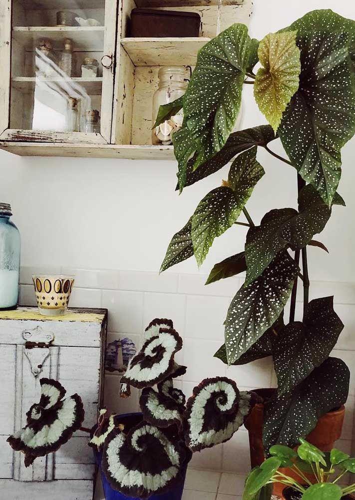 Como não cair de amores por essa dupla de begônias decorando a cozinha?